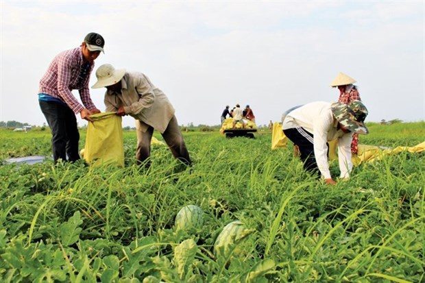 Bumper Tet for watermelon farmers hinh anh 1