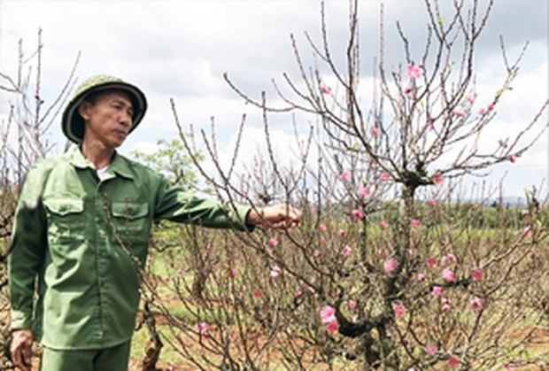 West Lake's famed peach blossoms on the move hinh anh 1