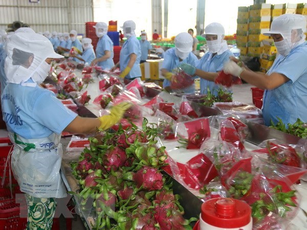 Over 1,500 tonnes of dragon fruits shipped to China via Lao Cai border gate hinh anh 1