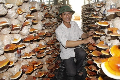Fungus farm keeps ex-soldier busy hinh anh 1