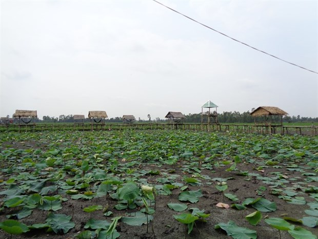 Lotus farm-tourism model faces market hurdles in Mekong hinh anh 1