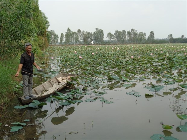 Lotus farm-tourism model faces market hurdles in Mekong hinh anh 2