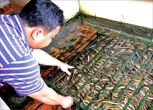 Mud-free eel breeding becoming commercial success hinh anh 1
