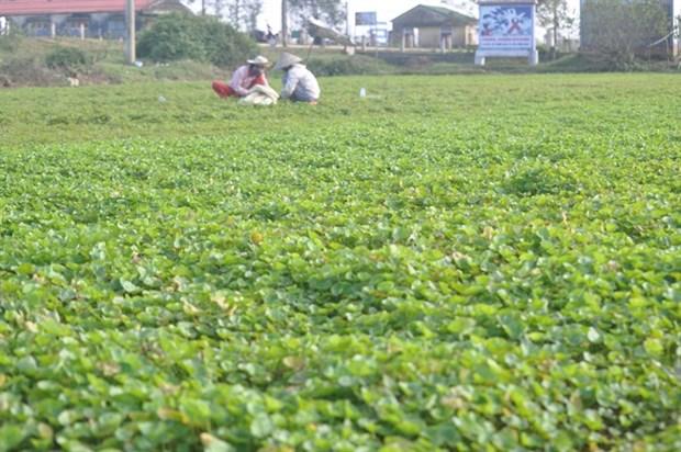 Gotu Kola plant earns Hue farmers a decent life hinh anh 1