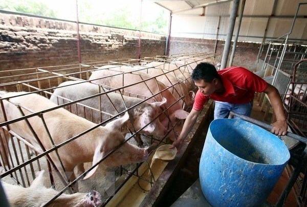 Farmers struggle to treat pig waste hinh anh 1