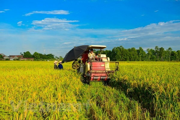 Made-in-Vietnam varieties cover 59 percent of rice fields hinh anh 1
