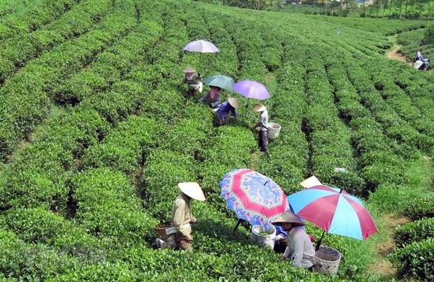 Festival promotes Thai Nguyen's tea products hinh anh 1