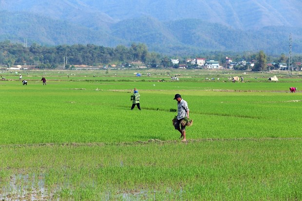 Winter-spring rice yields big profits for farmers hinh anh 1