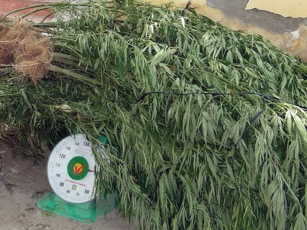 Nearly 7,300 marijuana plants uprooted in Dak Nong hinh anh 1