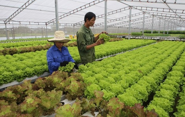 Vietnam exports clean vegetable farming technology to Singapore hinh anh 1