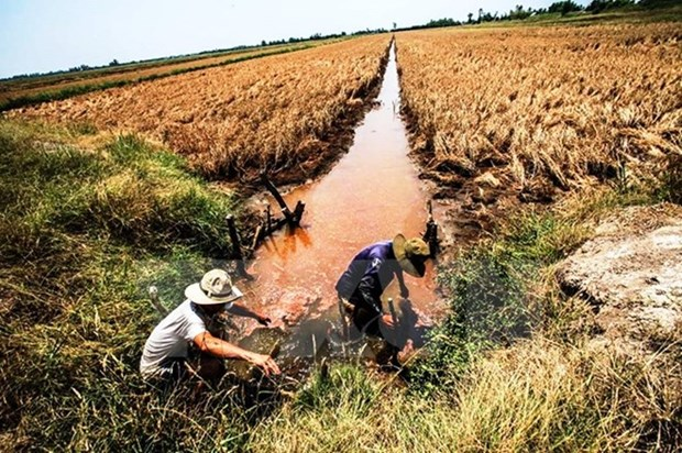 Over 40,000ha of rice to be hurt by saline intrusion in Hau Giang hinh anh 1
