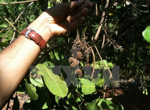 Long-term measures sought for sustainable cashew production hinh anh 1