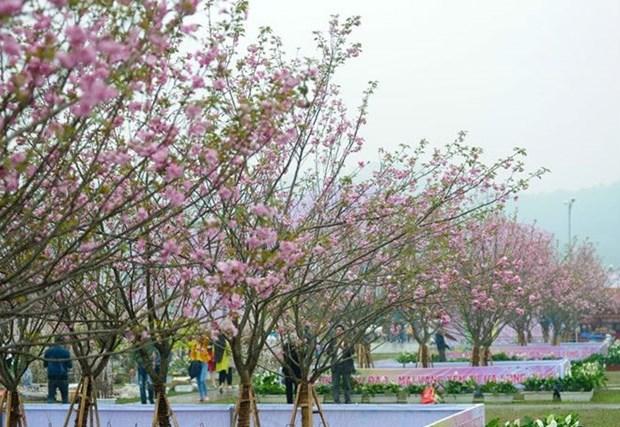 Sakura blossoms on display at VN-Japan cultural festival this weekend hinh anh 1