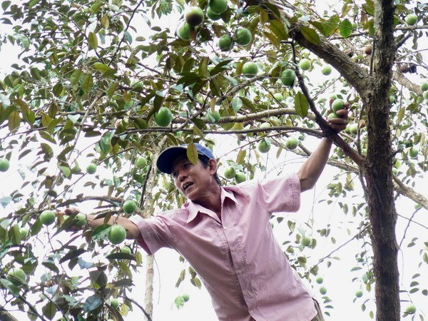 Tien Giang moves to manage quality of star apple exports hinh anh 1
