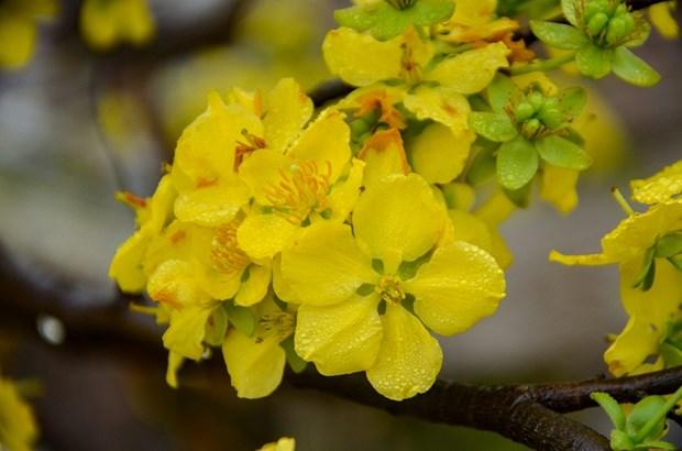 2018 Cherry blossom – Yen Tu yellow ochna flower festival opens hinh anh 1
