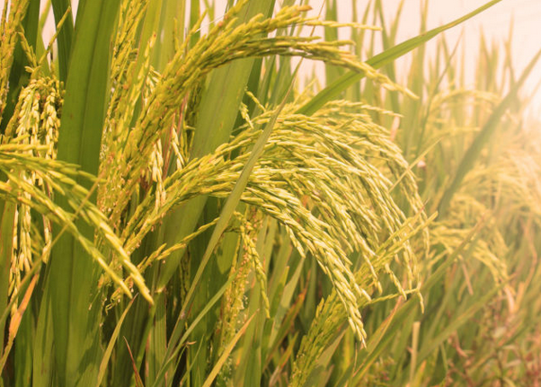 Thailand to step up rice exports through inter-governmental deals hinh anh 1