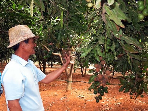 Central Highlands provinces asked to not expand macadamia area hinh anh 1