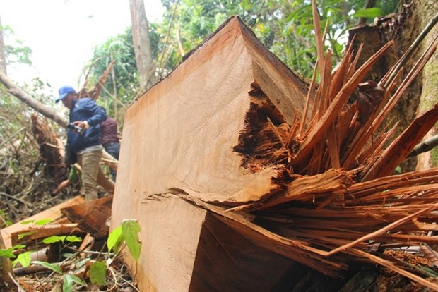 Illegal logging discovered in central Quang Nam province hinh anh 1