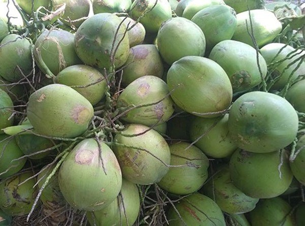 Southern province to boost coconut exports hinh anh 1