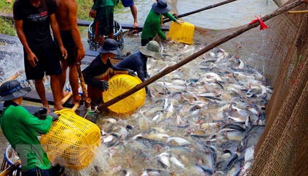 Numerous difficulties challenge tra fish export hinh anh 1