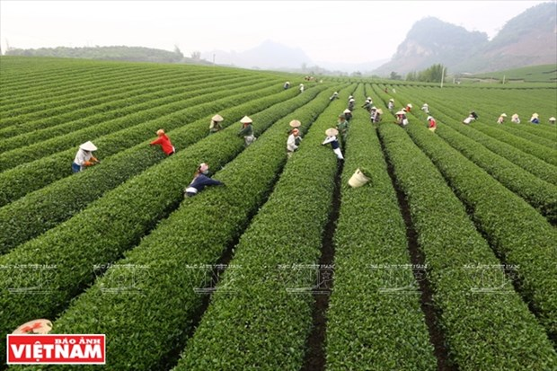 Moc Chau Tea Festival opens hinh anh 1