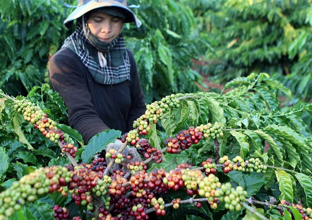 Central Highlands develops long-term industrial crops hinh anh 1