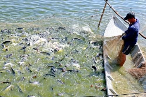 Farmers in Dong Thap province bet on tra fish hinh anh 1