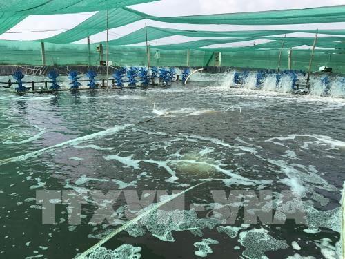 High-tech shrimp breeding brings higher profits to farmers hinh anh 1
