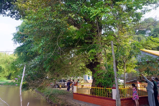 Crape myrtle trees in An Giang recognised as Heritage Trees hinh anh 1