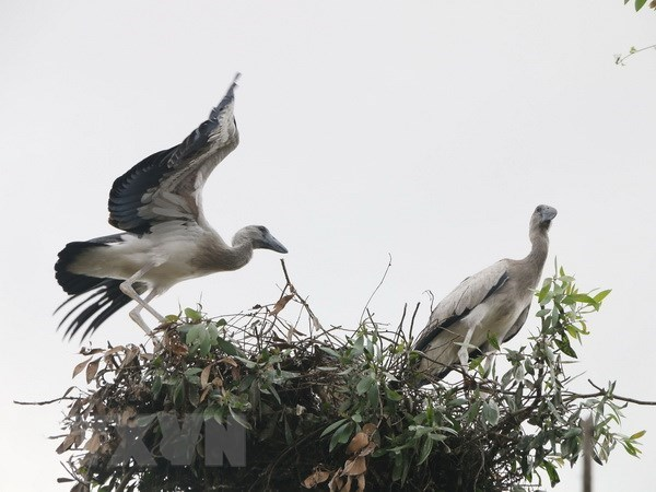 Asian openbill storks flock to Gao Giong cajuput forest in Dong Thap hinh anh 1