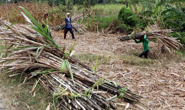 Sugarcane farmers in Mekong Delta suffer losses due to low prices hinh anh 1