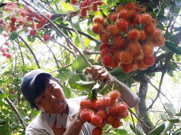 Vietnam exports rambutan to New Zealand hinh anh 1