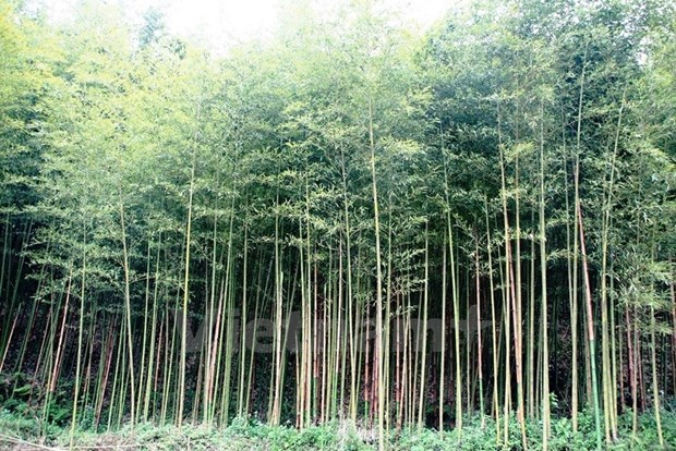Dong Thap works to preserve Vietnamese bamboo species hinh anh 1