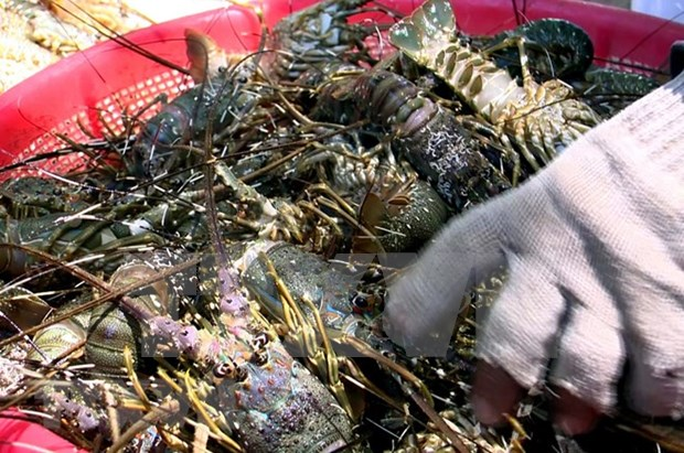 Workshop discusses sustainable lobster farming in central Vietnam hinh anh 1