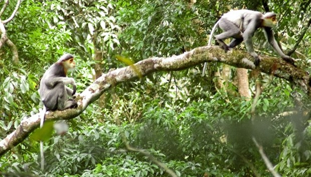 Central province launches project to protect endangered langurs hinh anh 1
