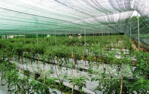HCM City: Investment in high-tech agriculture on the rise hinh anh 1