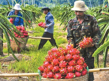 Air freight costs stymie fruit exports hinh anh 1