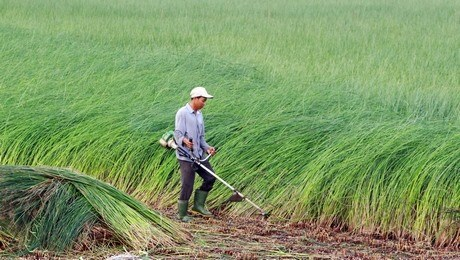 Mekong Delta farmers profit from sedge boom hinh anh 1