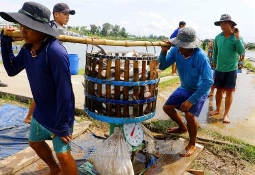 Mekong Delta authorities improve management of Tra fish breeding hinh anh 1
