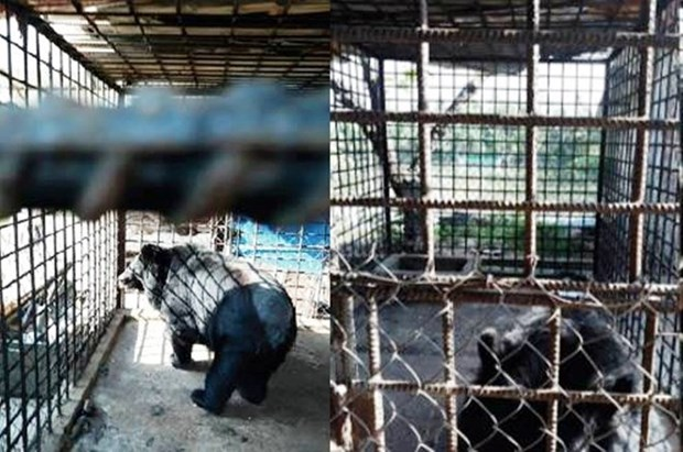 Can Tho reports no bears in captivity hinh anh 1