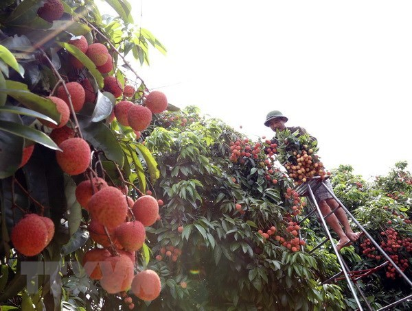 Festival promotes consumption of Thanh Ha litchi hinh anh 1