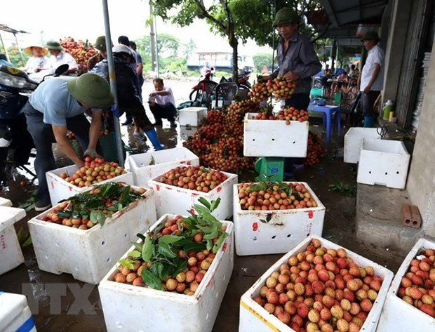 Thanh Ha litchis to be introduced to customers in Hanoi hinh anh 1