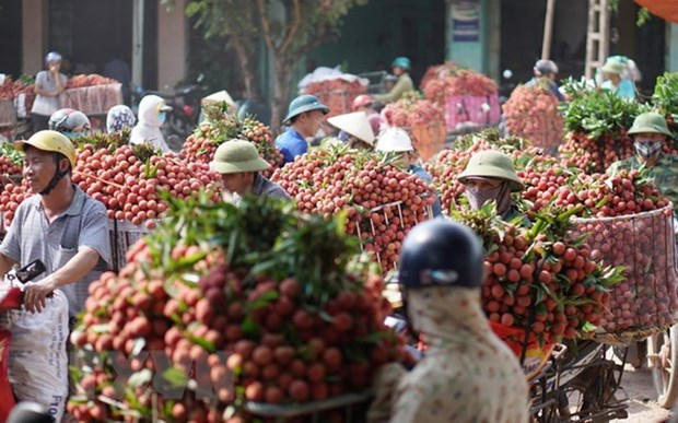 Hai Duong exports about 9,500 tonnes of litchi hinh anh 1