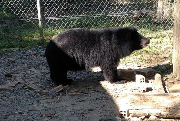 More Asian black bears in captivity in Lam Dong released hinh anh 1
