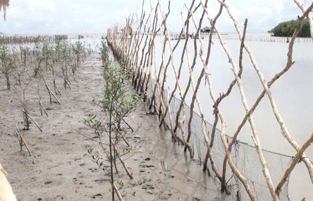 Kien Giang strives to recover, develop coastal protection forests hinh anh 1