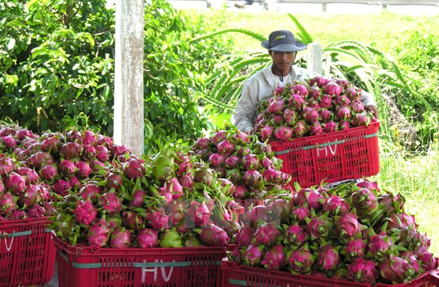Dragon fruits dominate Vietnam's fruit exports hinh anh 1