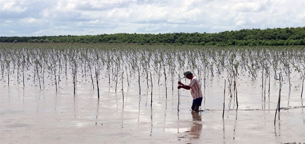 Farmers earn higher incomes from protecting mangrove forests hinh anh 1