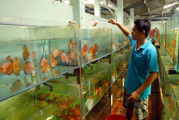 HCM City: Ornamental fish production reaches higher standards hinh anh 1