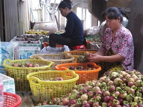 Binh Duong expands production of specialty mangosteens hinh anh 1