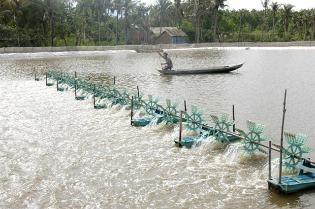Tra Vinh farmers grow mangrove forests to breed shrimp hinh anh 1